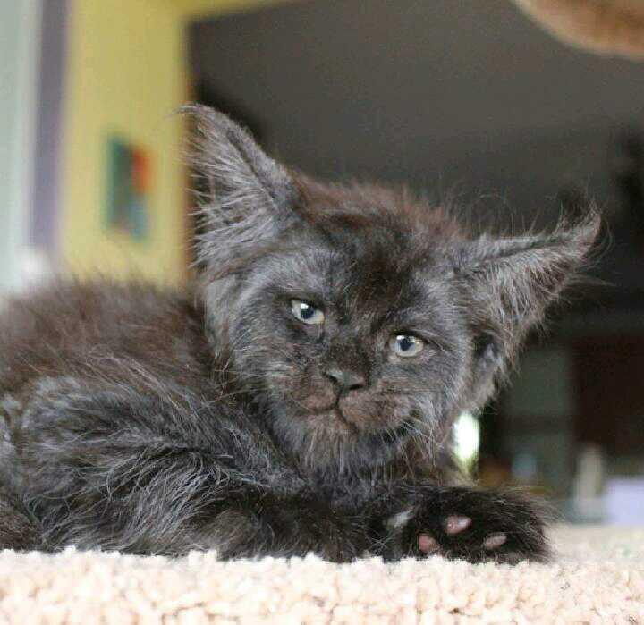Perkenalkan Kucing Valkyrie Yang Lagi Hits, Ekpresi Wajahnya Yang Mirip Manusia.