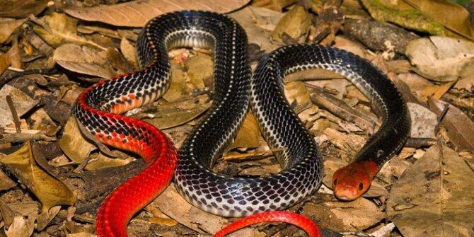 Ular-ular raksasa dan berbisa ini berkembang biak di Indonesia