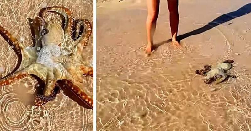 Saat Sedang Berjalan Jalan Di Pantai Aku Membantu Gurita Agar Bisa