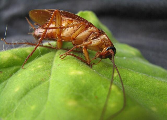 5 Fakta Kecoa yang Wajib Kita Ketahui