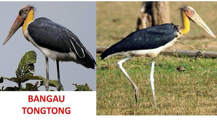 Bangau Tong-Tong, Burung Yang Kepalanya Tidak Tumbuh Bulu.