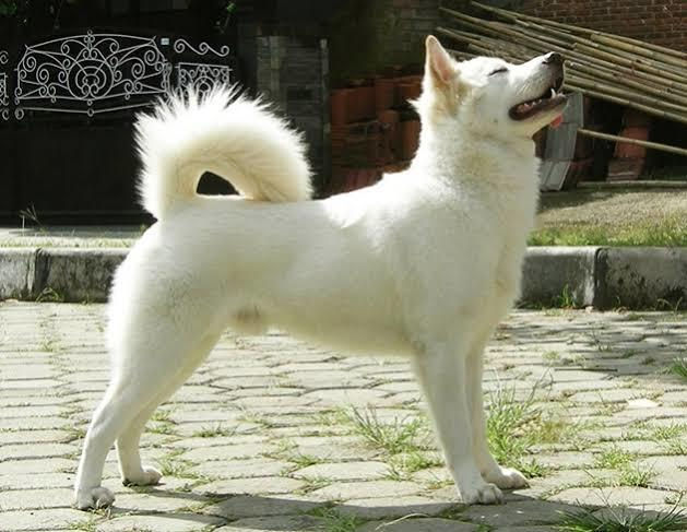 Pintarnya Anjing Kintamani, Ras Asli Indonesia