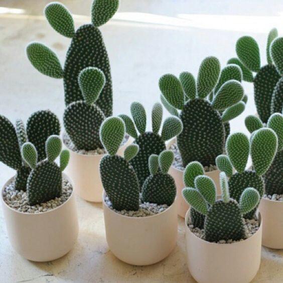 5 Jenis Kaktus Mini Ini Bikin Meja Kerjamu Makin Kece Kaskus