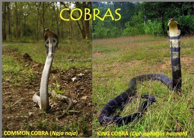 Ular Berbisa Itu King Cobra, Lah Kalau Cobra ??