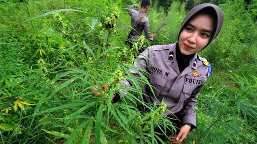 Aceh dan Ganja, 2 Sisi Yang Tak Bisa Dipisah?