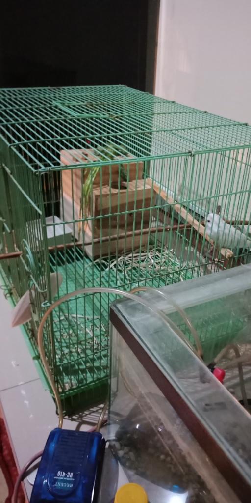 Need Tips Breeding Parkit Yg Betinanya Gak Mau Masuk Sarang