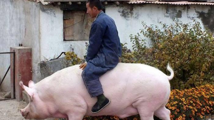 China Sumbang 50 Persen Babi di Muka Bumi, Namun Puluhan Ribu darinya Kini Telah Dimu