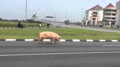 Jangan Nabrak Babi di Pegaf, Tuntutannya Tak Masuk Akal!