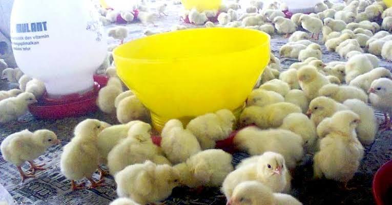 3 Fase Pemeliharaan Ayam Broiler