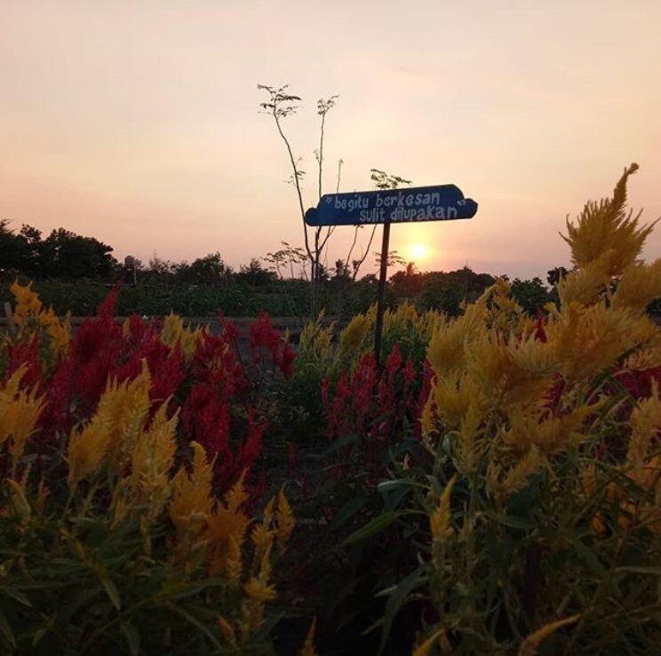 10 Potret Cantik Kebun Bunga Celosia di Yogyakarta, Hits dan Kekinian!