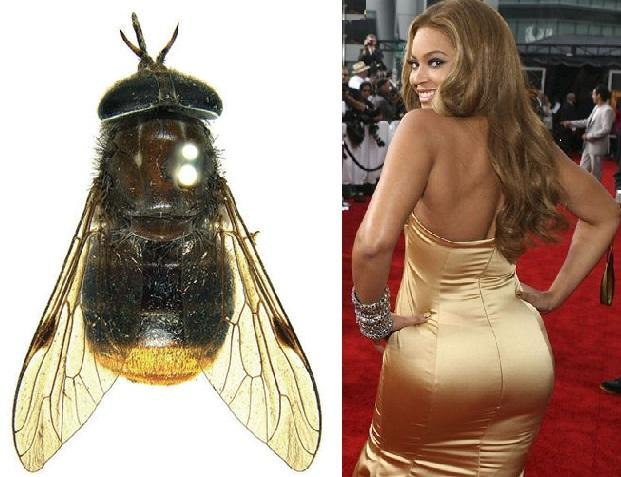 "WOW! Inilah Si CANTIK Scaptia Beyonceae,Lalat DIVA ""BERBOKONG EMAS"" Yang LANGKA!"