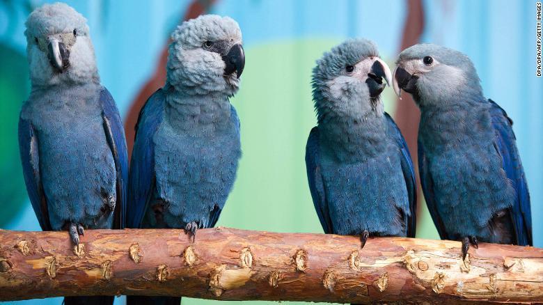 Burung Biru di Film Rio Dinyatakan Punah di Alam Liar