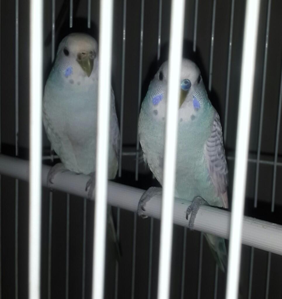 [COC PETS] Mudahnya Merawat Rika dan Riko, (Sepasang Burung Parkit) #AslinyaLo