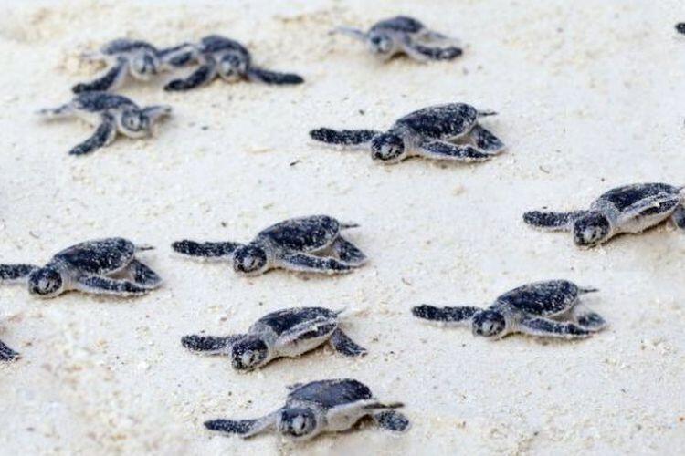Lebih dari 60 Persen Spesies Penyu Punah atau Terancam Punah