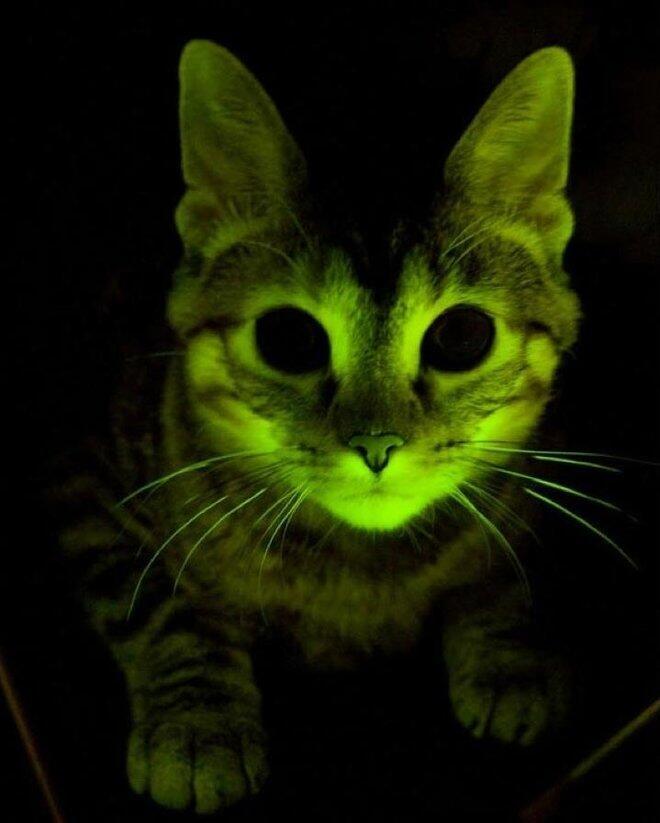 ANEH?!,Tubuh Kucing Kampung ini bisa MENYALA di dalam gelap gan!