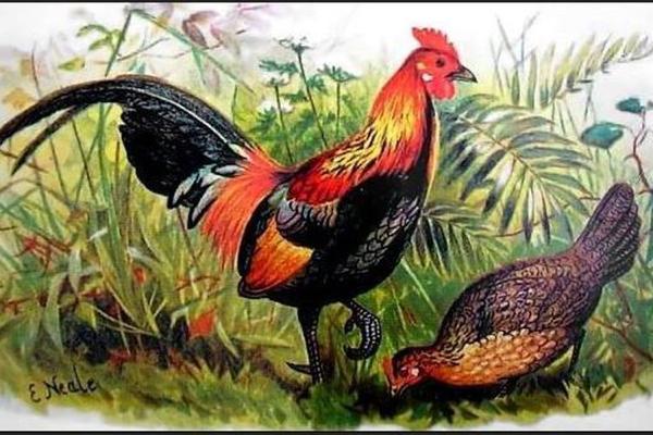 Penjelasan Ilmiah Paling Masuk Akal Antara Ayam & Telur Duluan Manah