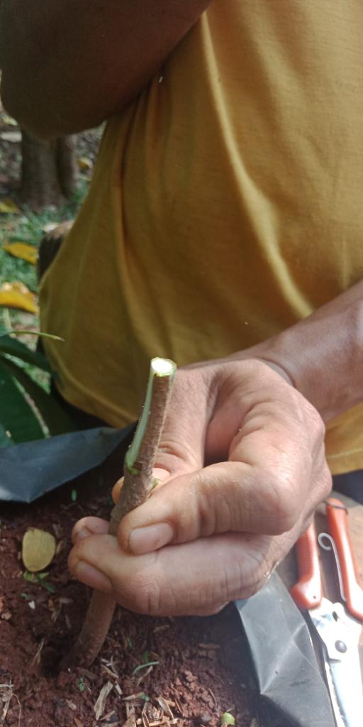 [Event COC]Ingin Punya Tanaman Mangga Berbuah Manis & Pendek?Masuk Sini Gan#AslinyaLo