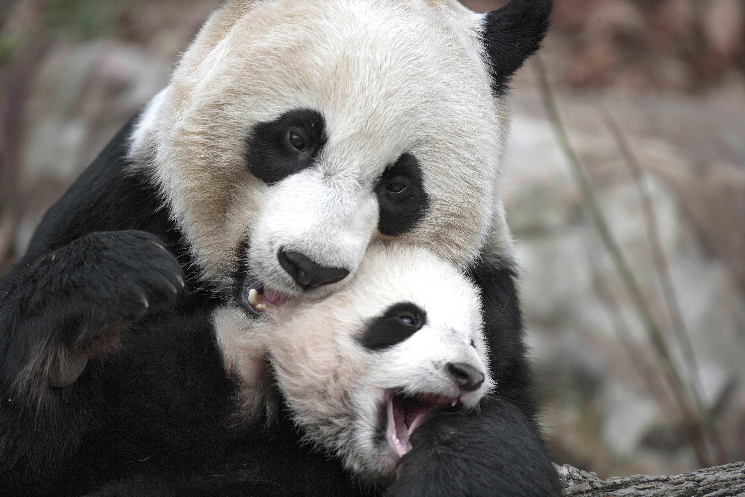 Kenapa Jumlah Panda Raksasa Sangat Sedikit? Ini 9 Penjelasan Para Ahli