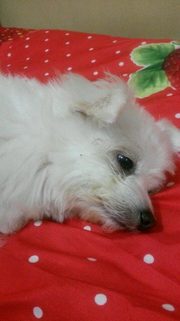 [COC Pets] Hey Xiao Bai Hey Xiao Bai, Dia si Kecil Galak #AslinyaLo