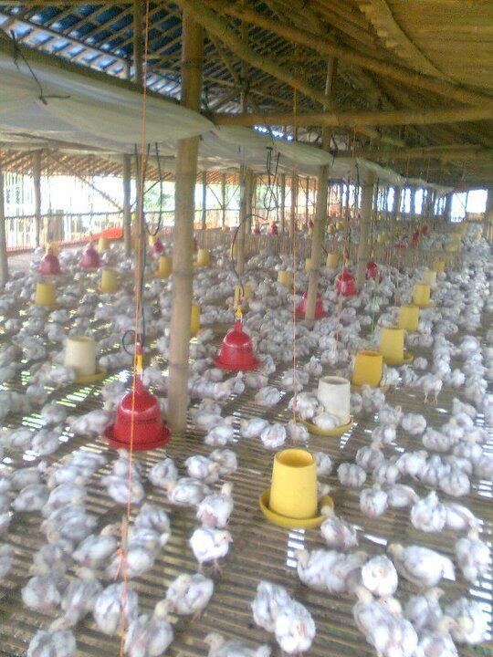 CHICKENFUND - Investasi Amanah Usaha Peternakan Ayam Boiller Profit 8% Per Month