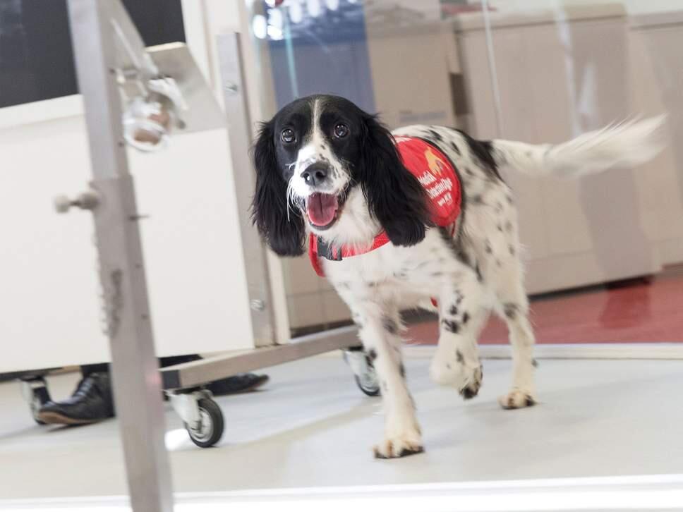 Hebat! Dengan Latihan Khusus, Anjing Ternyata Bisa Mendeteksi Malaria Loh