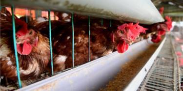 Perusahaan yang memproduksi chicken nuggets tanpa menyembelih ayam