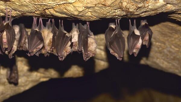 Riset Kemenkes Sebut 2 Spesies Kelelawar Bisa Tularkan Penyakit Otak