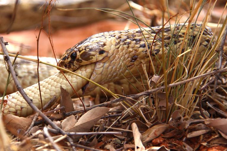 7 Fakta Seringnya Kanibalisme pada Kobra Melalui Ular Bernama Hannibal