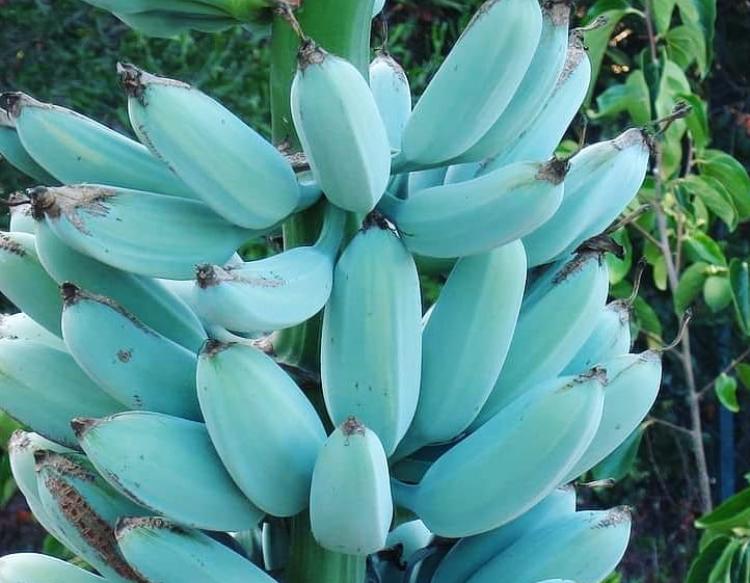 Blue Java Banana, Pisang Biru Selembut Es Krim Vanila
