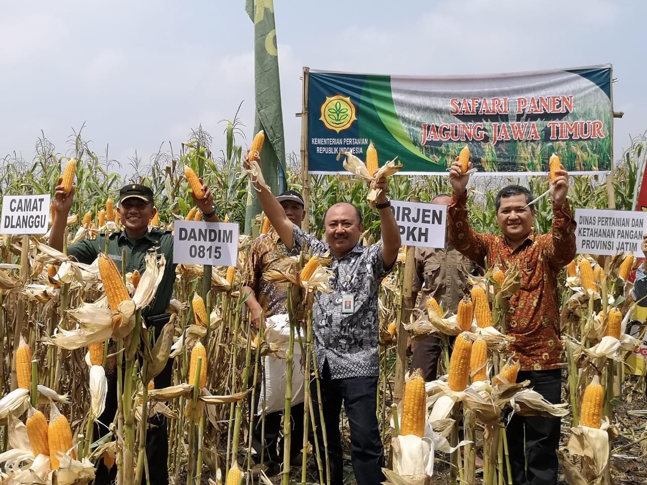 Panen Raya Jagung di Mojokerto, Petani Menikmati Harga yang Baik