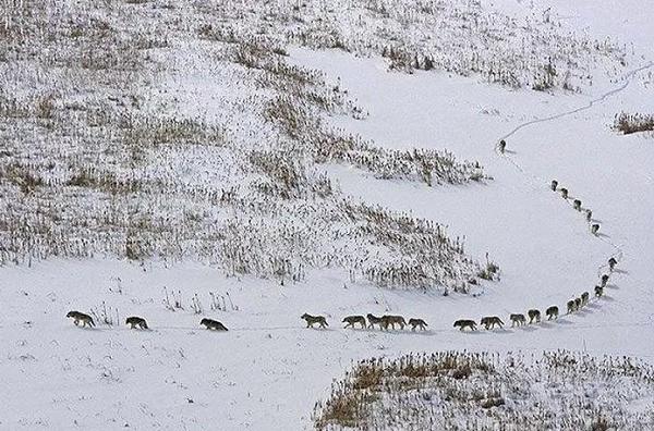Ternyata Foto Formasi Serigala Berjalan yang Beredar Di Media Sosial Itu Hoax