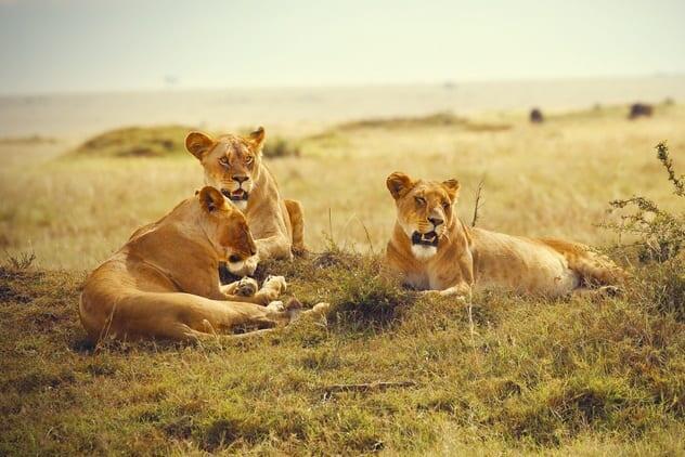 Kisah hewan liar yang menyelamatkan manusia. Positive vibes banget, Bre!