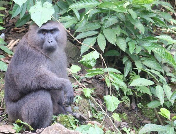 Mengenal Kera Macaca Maura, Binatang Endemik Sulawesi Selatan