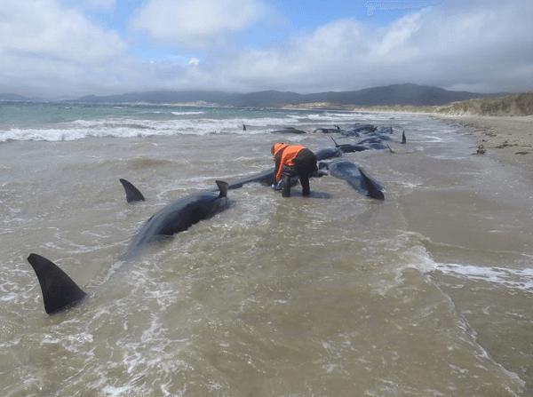 Sebanyak 145 Ekor Ikan Paus Mati Terdampar di Selandia Baru