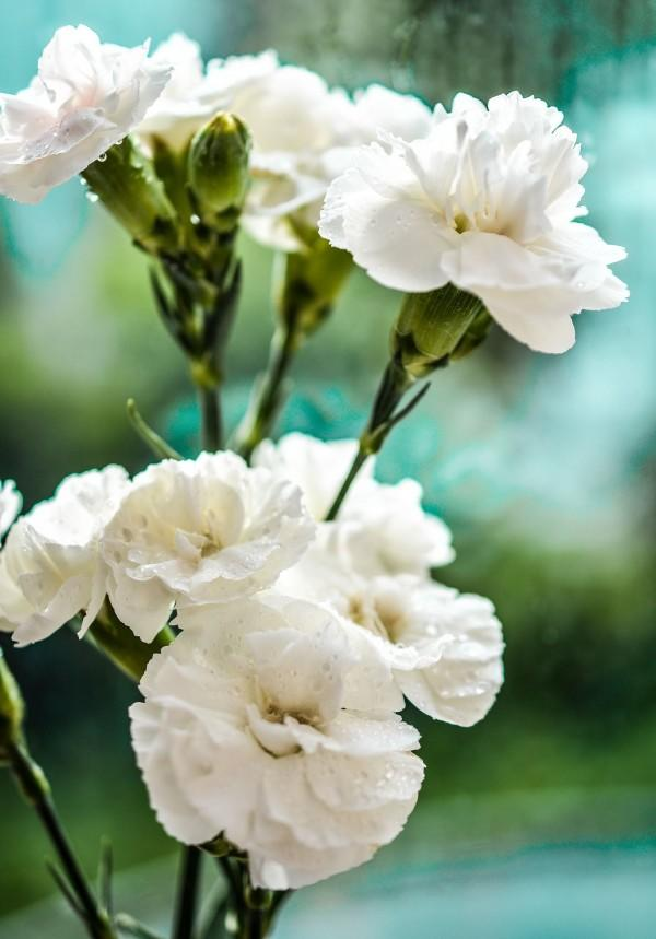 Selain Kamboja, 5 Jenis Bunga Ini Juga Memiliki Simbol Dukacita