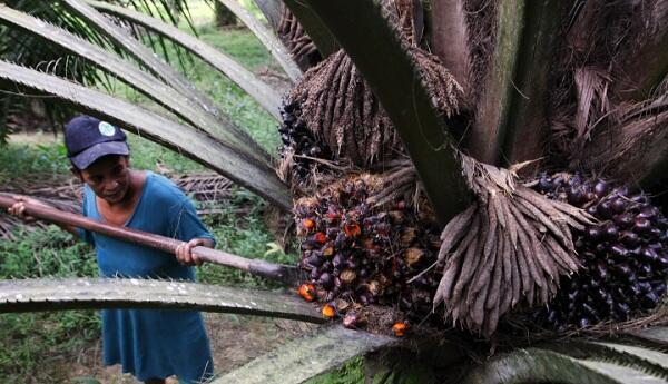 Nol Rupiah Pungutan Produk Sawit dan Turunannya