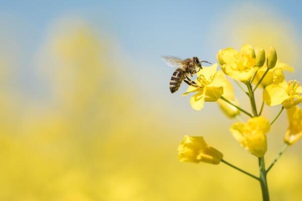 Gara-gara Insektisida, Jutaan Lebah Mati di Afrika Selatan