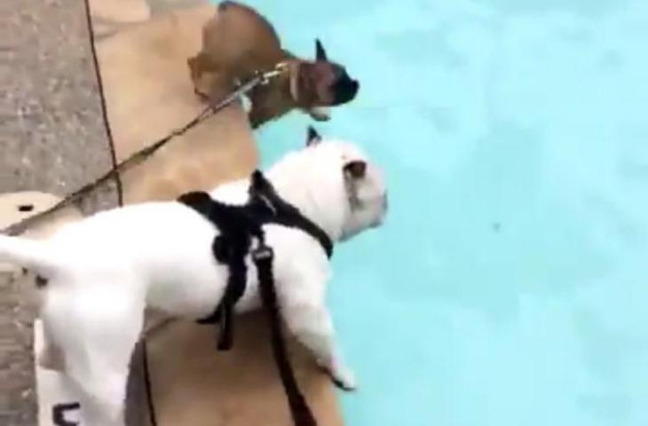 Aksi Anjing Yang Lucu Ketika Melihat Kolam Renang Pertama Kali!