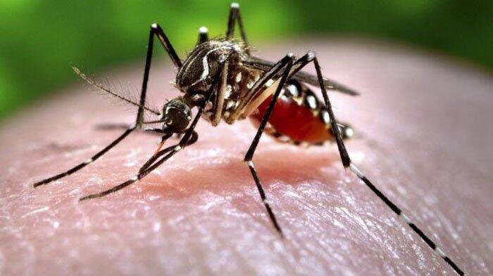 Ini Cara Berantas Nyamuk Tanpa Obat, Fogging, Bahkan Tanpa Biaya
