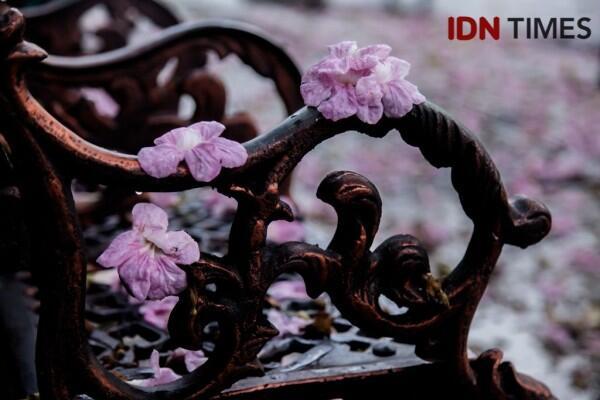 [EKSKLUSIF] Cerita Risma Soal Bunga Tabebuya, 'Sakura-nya' Surabaya