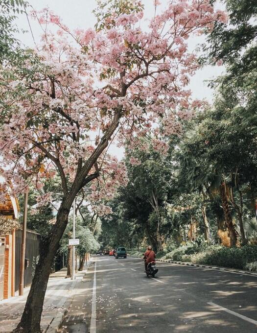 Ada Bunga Sakura di Surabaya Gan!