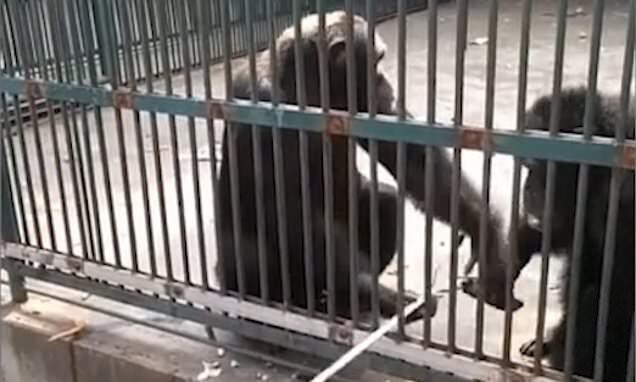 Simpanse Mengembalikan Tongkat Selfie Yang Dicuri Ke Pengunjung Kebun Binatang