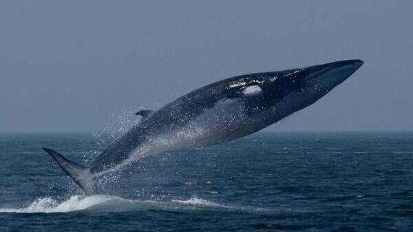10 Hewan Laut Raksasa Paling Indah dan Menakjubkan! Mana Favoritmu?