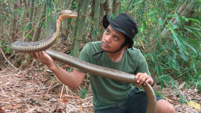 Panji Petualang Bongkar Cerita Ular King Cobra Tak Bergerak Selama 4 Bulan