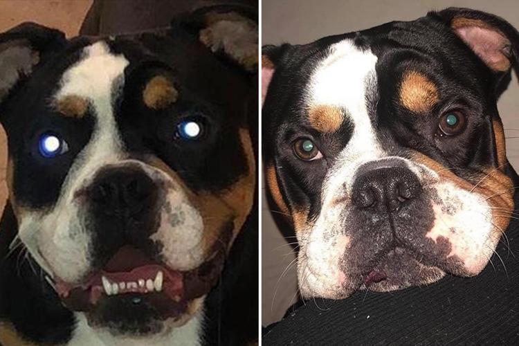 Ngolesin Selai Kacang Di ORGAN VITAL,Eh Malah Digigit Anjing BULLDOG sampe PUTUS
