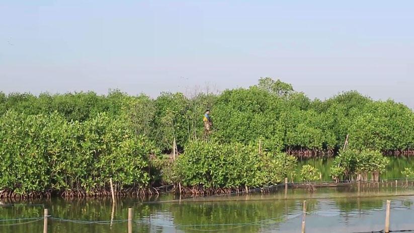 Hijaunya Hutan Mangrove Pekalongan