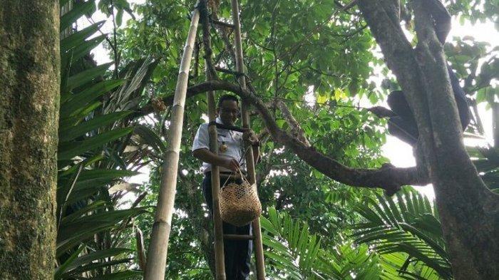 Panen Duku Condet, Gubernur Anies Panjat Tangga