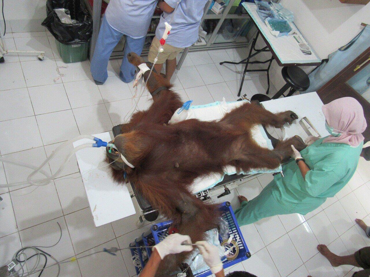 Bayi Orangutan Meninggal krn Kelaparan Setelah Induknya Tertembak Pekerja Perkebunan