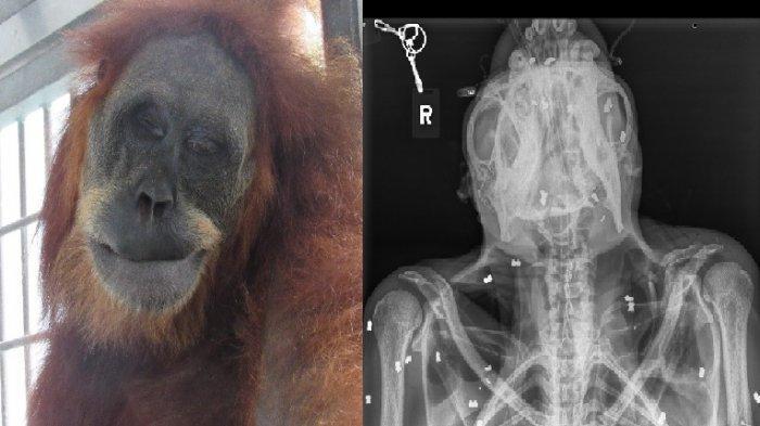 Koalisi Peduli Orangutan Sumatera Kecam Penembakan Hope