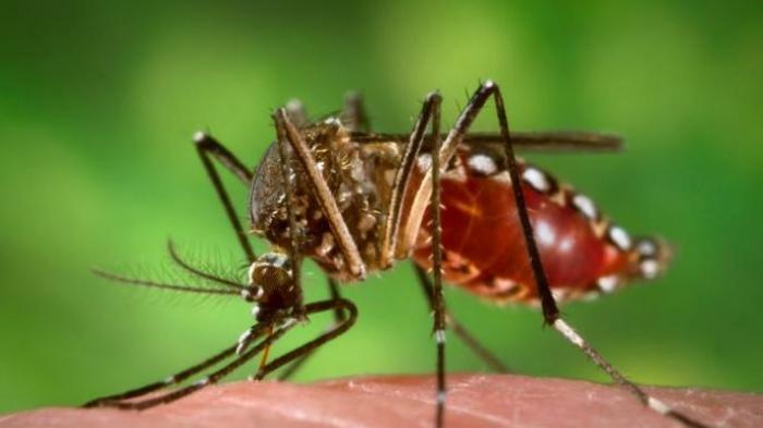 Mengapa Golongan Darah O Sering Digigit Nyamuk dan Rawan Terjangkit DBD?